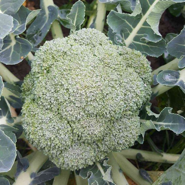 broccoli belstar-f1