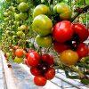 agilis-f1 seminte tomate-nedeterminate Enza-Zaden
