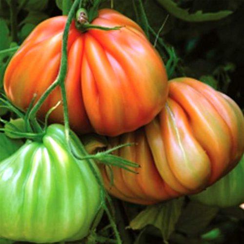 Arawak-f1 tomate nedeterminate Syngenta