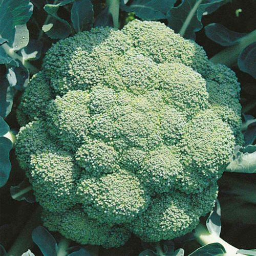 Marathon-f1 seminte broccoli sakata