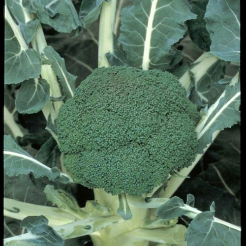 green-magic-f1 seminte broccoli Sakata