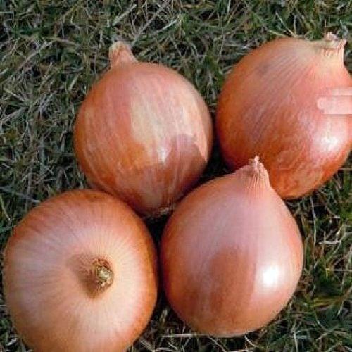 calatis-f1 ceapa galbena Agrosel