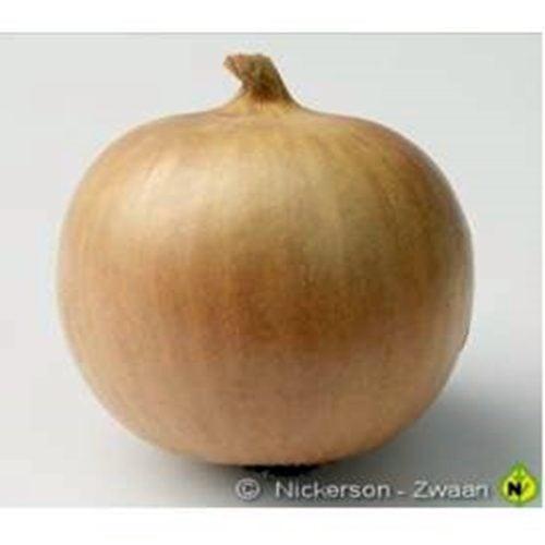 dacapo-f1 ceapa galbena Hazera