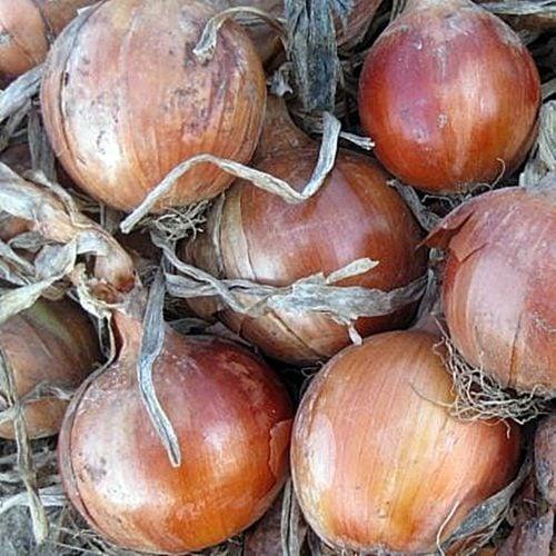 elenka-f1 ceapa galbena Cora-Seeds