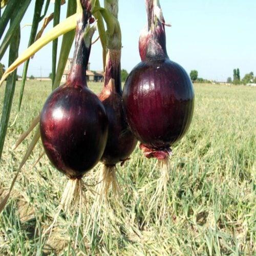 fiamma-f1 ceapa rosie Cora-Seeds