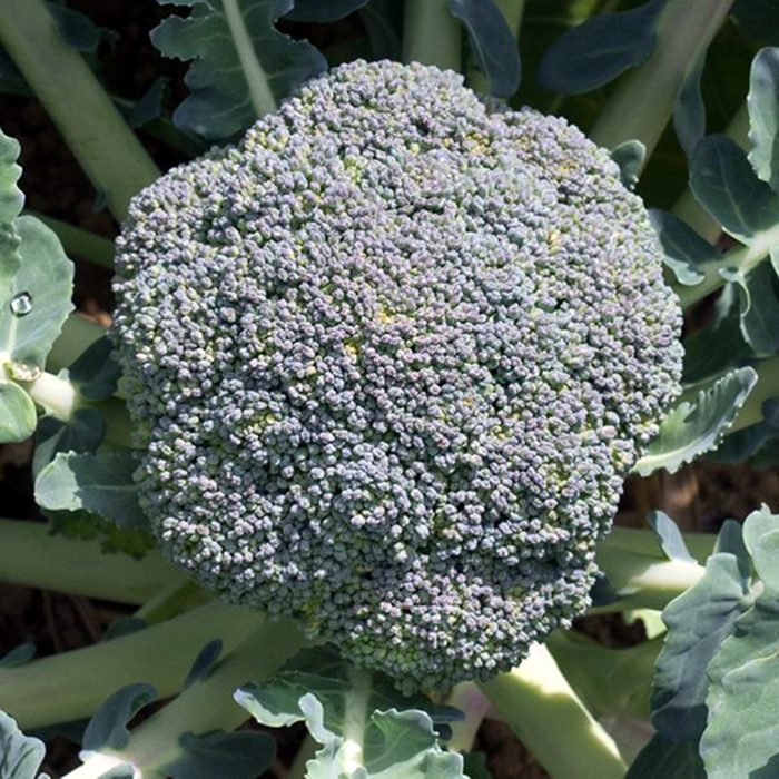 broccoli fiesta-f1