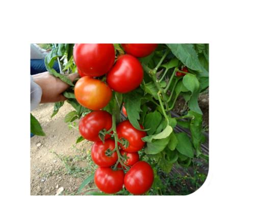 amerigo-f1 seminte tomate-nedeterminate Sakata