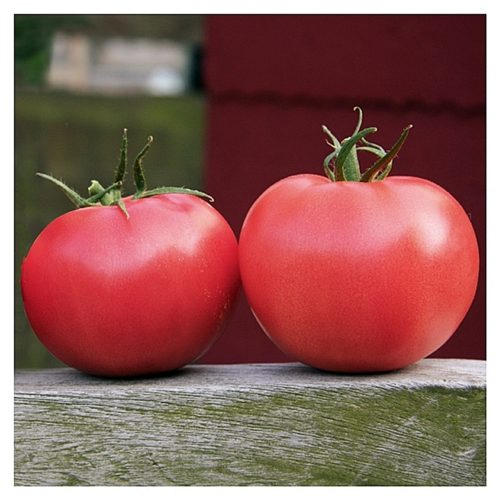 aphen-f1 tomate nedeterminate Clause