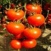 brillante-f1 seminte tomate-nedeterminate Hazera