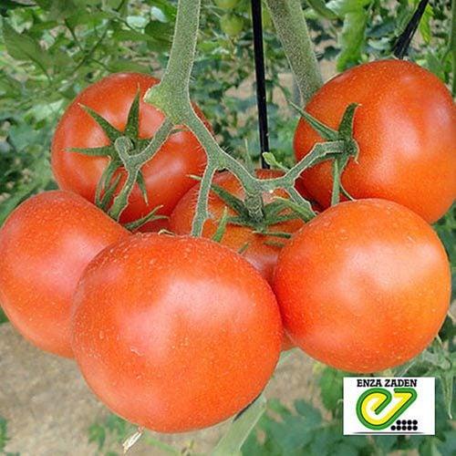 lojian-f1 tomate determinate Enza-Zaden