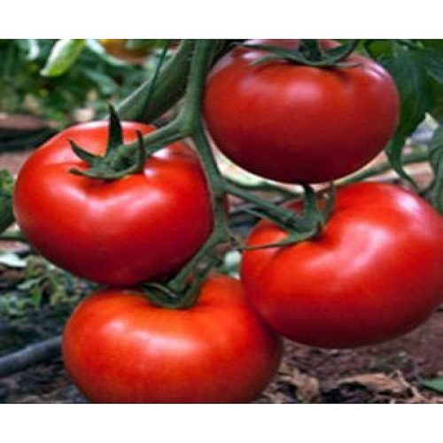 amaneta-f1 seminte tomate-nedeterminate Enza-Zaden