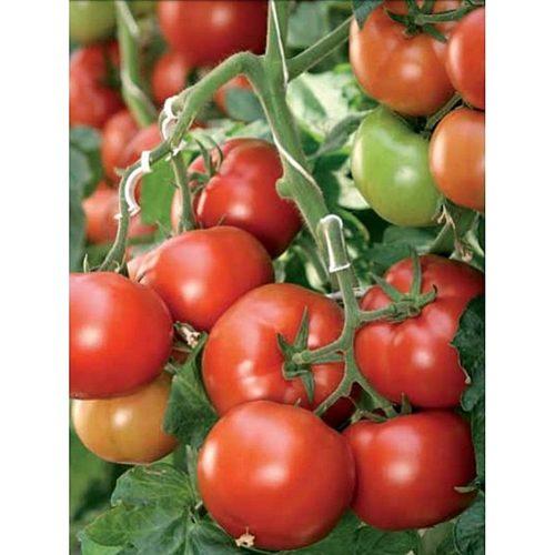 corvinus-f1 tomate semideterminate Seminis