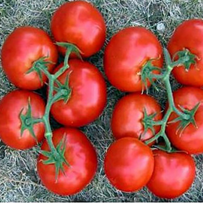 izmir-f1 tomate nedeterminate Syngenta