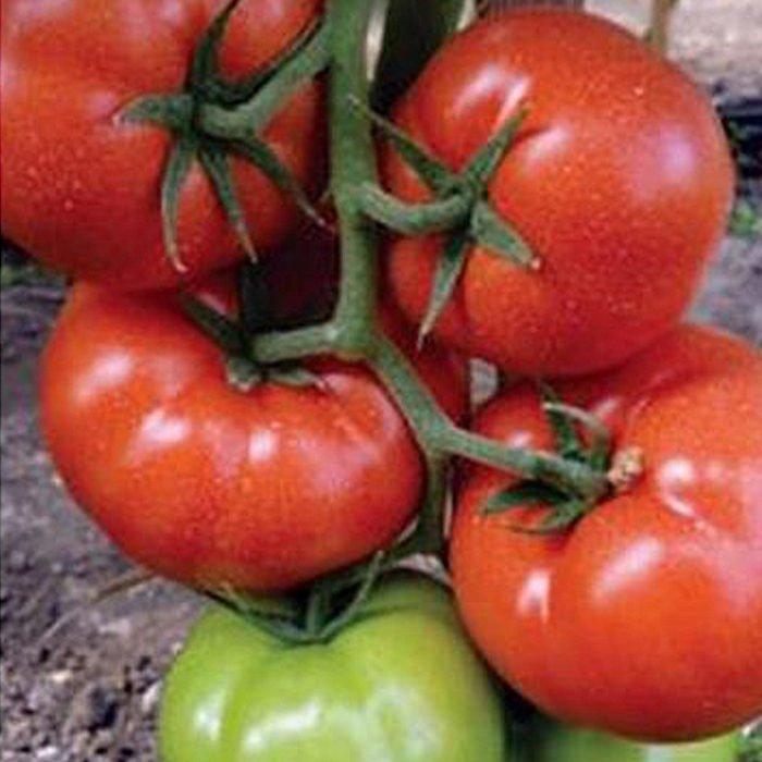 panekra-f1 tomate nedeterminate Syngenta