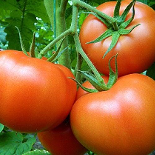 sandoline-f1 tomate nedeterminate Syngenta
