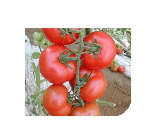 galina-f1 tomate semideterminate Hazera
