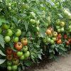 magnus-f1 tomate semideterminate Seminis