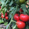 vasanta-f1 tomate semideterminate Rijk-Zwaan