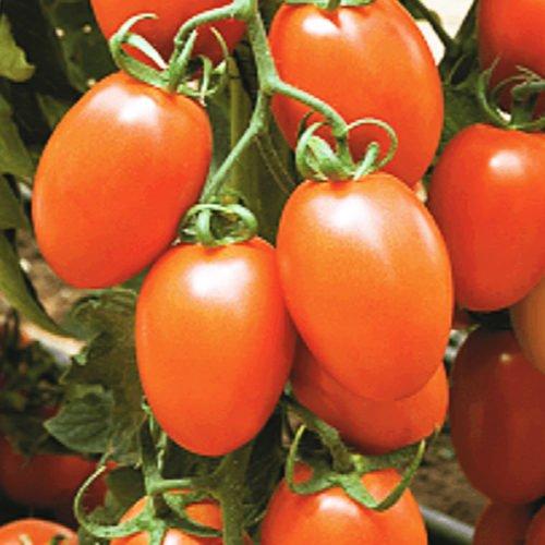 kilates-f1 tomate nedeterminate Syngenta