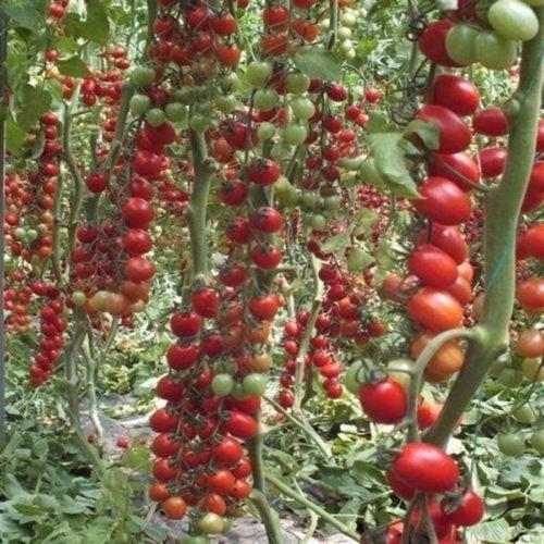 Landolino-f1 tomate nedeterminate Syngenta