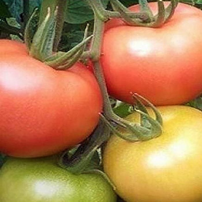 mamston-f1 tomate nedeterminate Syngenta