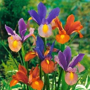 Iris si Ixia Mixtura