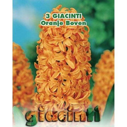 Depozitul de Seminte Bulbi Zambile Oranje Boven