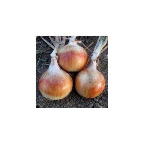 skinner-f1 ceapa alba Cora-Seeds