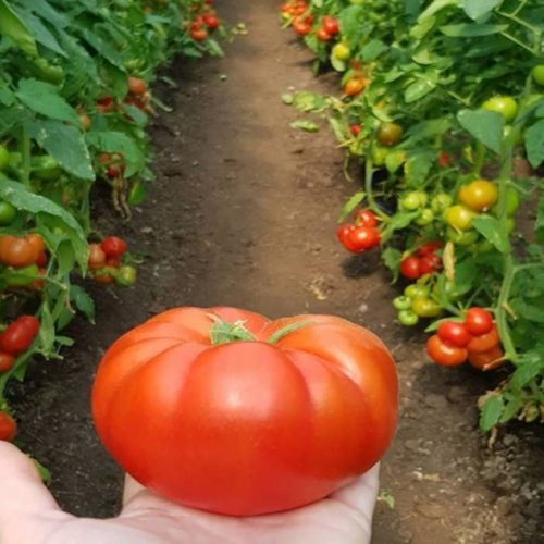 kingset-f1 tomate nedeterminate syngenta