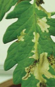 Molia tomatelor